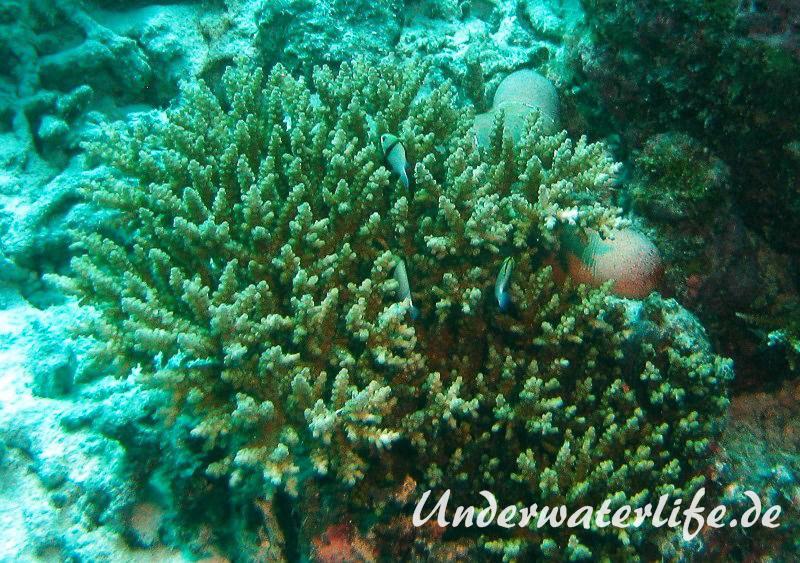 Indischer-Preussenfisch_adult-Malediven-2013-01