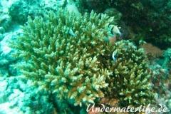 Indischer-Preussenfisch_adult-Malediven-2013-02