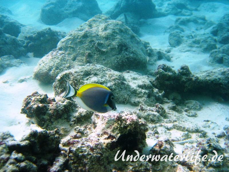 Indischer-Weisskehldoktorfisch_adult-Malediven-2013-5