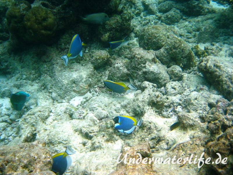 Indischer-Weisskehldoktorfisch_adult-Malediven-2013-6