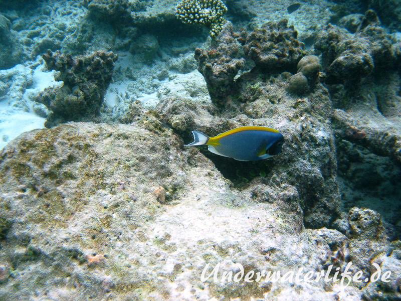 Indischer-Weisskehldoktorfisch_adult-Malediven-2013-7