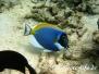 Indischer Weißkehldoktorfisch (Acanthurus leucosternon) Indik
