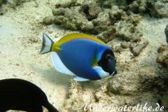 Indischer-Weisskehldoktorfisch_adult-Malediven-2013-1