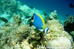 Indischer-Weisskehldoktorfisch_adult-Malediven-2013-2