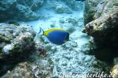 Indischer-Weisskehldoktorfisch_adult-Malediven-2013-3