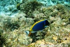 Indischer-Weisskehldoktorfisch_adult-Malediven-2013-4