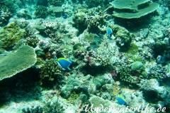 Indischer-Weisskehldoktorfisch_adult-Malediven-2013-8