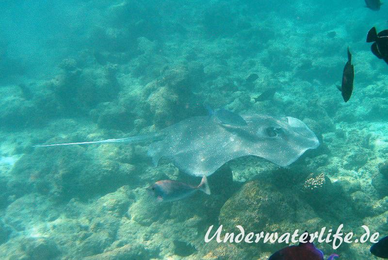 Igelrochen_adult-Malediven-2013-01