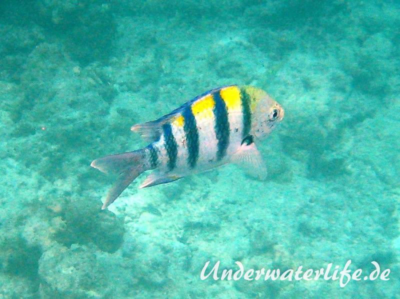 Indopazifik Sergeant_adult-Malediven-2013-01