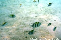 Indopazifik Sergeant_juvenil-Malediven-2013-04