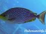 Java-Kaninchenfisch (Siganus javus)
