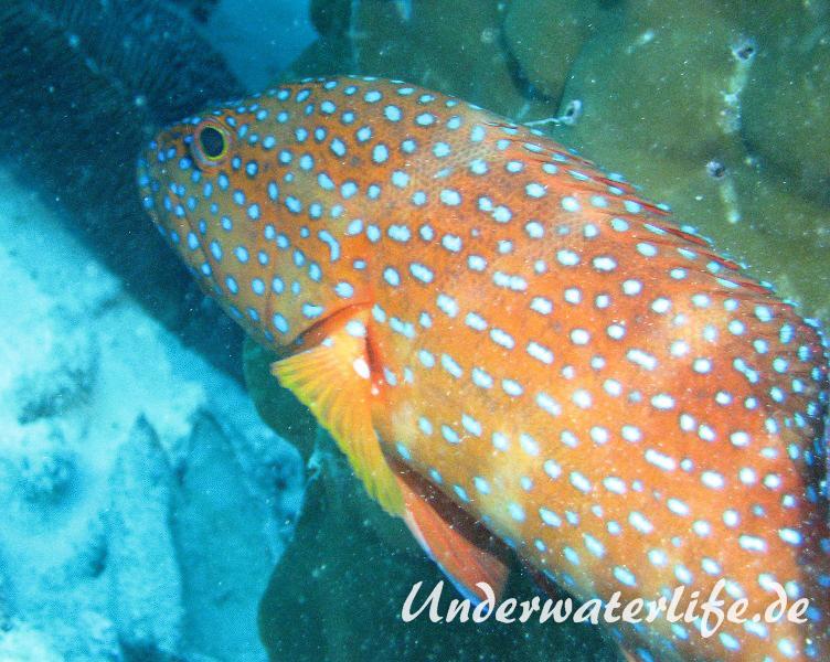 Juwelen Zackenbarsch_adult-Malediven-2013-01