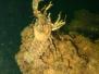 Europa Süßwasser Krebse-Crustacea-Crustaceans