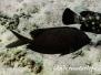 Kaninchenfisch (Siganus stellatus)