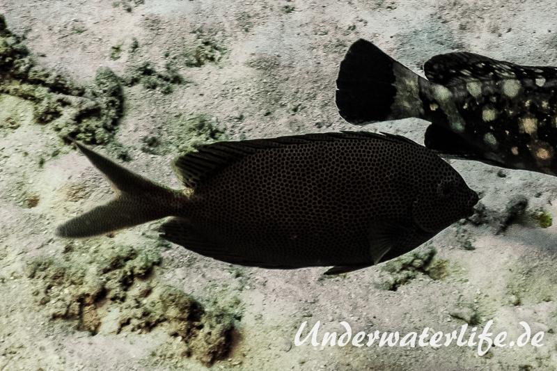 Kaninchenfisch_Siganus stellatus_adult-Thailand-2017-001