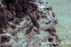 Kardinalbarsch_Ostorhinchus moluccensis_adult-Thailand-2017-002