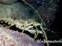 Karibik-Languste (Panulirus argus)