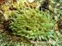 Karibische Riffanemone (Condylactis gigantea)