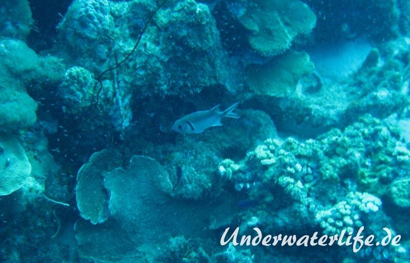 Karibischer Halsband-Soldatenfisch_adult-Karibik-2014-002