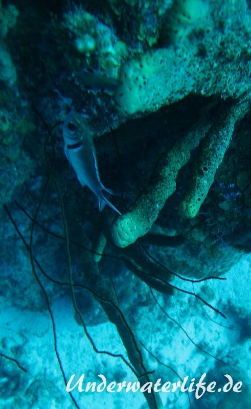 Karibischer Halsband-Soldatenfisch_adult-Karibik-2014-003
