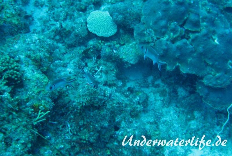 Karibischer Halsband-Soldatenfisch_adult-Karibik-2014-004