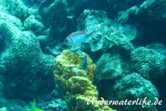 Karibischer Halsband-Soldatenfisch_adult-Karibik-2014-001