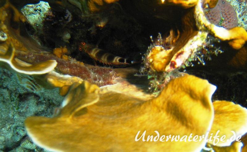 Karibischer Korallenwaechter_adult-Karibik-2014-002