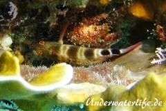 Karibischer Korallenwaechter_adult-Karibik-2014-001