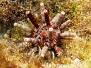 Karibischer Lanzenseeigel (Eucidaris tribuloides)
