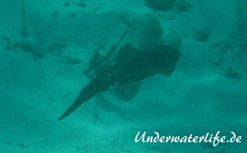 Karibischer Riff-Tintenfisch_adult-Karibik-2014-001