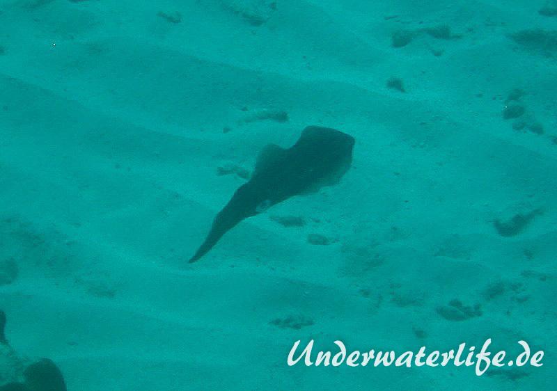 Karibischer Riff-Tintenfisch_adult-Karibik-2014-003
