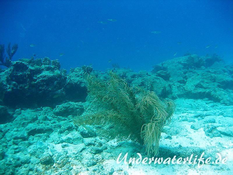 Karibischer Riff-Tintenfisch_adult-Karibik-2014-005