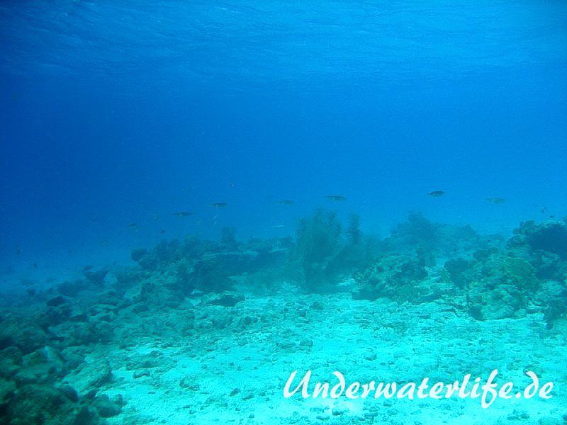 Karibischer Riff-Tintenfisch_adult-Karibik-2014-007
