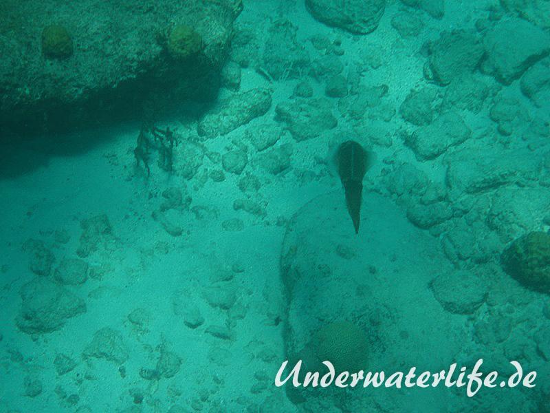 Karibischer Riff-Tintenfisch_adult-Karibik-2014-008