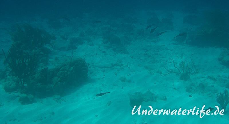 Karibischer Riff-Tintenfisch_adult-Karibik-2014-018