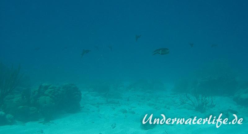 Karibischer Riff-Tintenfisch_adult-Karibik-2014-019