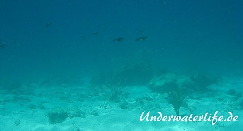 Karibischer Riff-Tintenfisch_adult-Karibik-2014-020