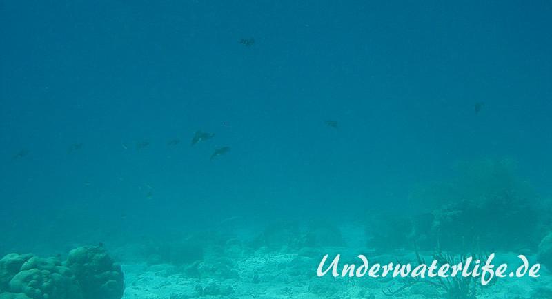 Karibischer Riff-Tintenfisch_adult-Karibik-2014-021