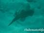 Karibischer Riff-Tintenfisch (Sepioteuthis sepioidea)