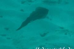 Karibischer Riff-Tintenfisch_adult-Karibik-2014-002