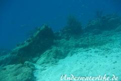 Karibischer Riff-Tintenfisch_adult-Karibik-2014-004
