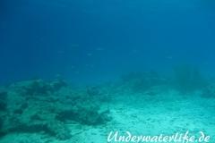 Karibischer Riff-Tintenfisch_adult-Karibik-2014-006