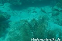 Karibischer Riff-Tintenfisch_adult-Karibik-2014-009