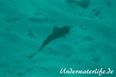 Karibischer Riff-Tintenfisch_adult-Karibik-2014-010