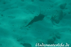 Karibischer Riff-Tintenfisch_adult-Karibik-2014-011