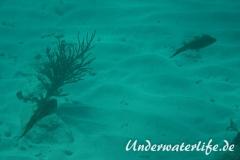 Karibischer Riff-Tintenfisch_adult-Karibik-2014-012