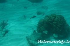 Karibischer Riff-Tintenfisch_adult-Karibik-2014-013