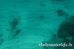 Karibischer Riff-Tintenfisch_adult-Karibik-2014-014