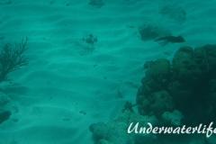 Karibischer Riff-Tintenfisch_adult-Karibik-2014-015