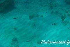 Karibischer Riff-Tintenfisch_adult-Karibik-2014-016